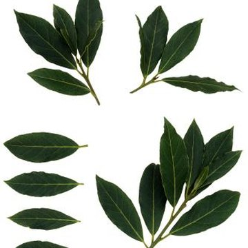 Bay leaves, commonly used in cooking, adorn bay laurel shrubs.