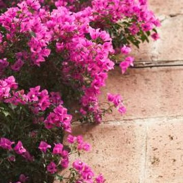 Bougainvillea grows moderately well from stem starts.