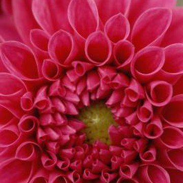 Dahlia blooms fall under the flower show category of round-form flowers, or single-stemmed mature blooms.