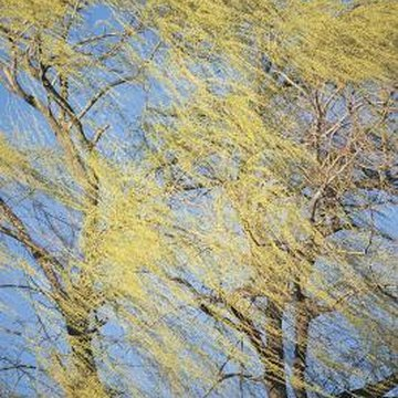 Weeping willows occupy a broad space above and below ground.