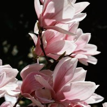 Magnolias can be grown in a wide variety of spaces and climates.