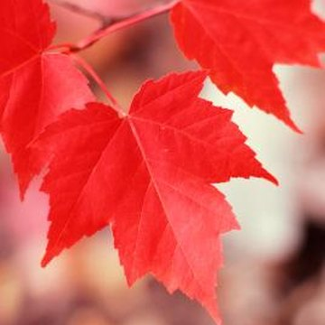 Insects love to eat the leaves of maple trees.