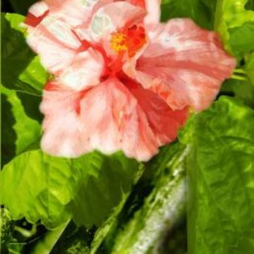 There are more than 200 hibiscus species.