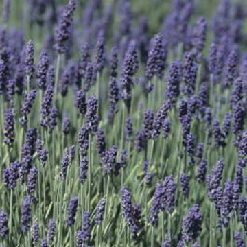 Lavenders are are drought-tolerant and wind-resistant.