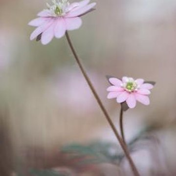 Anemones produce fluffy seed containers that are carried away by the wind; hence the name -- windflowers.