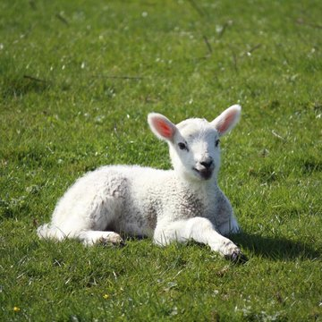 How To Control Scours In Baby Lambs Animals Mom Me