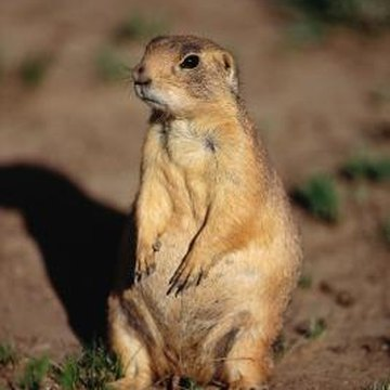 Gophers could be one cause of the mounds of dirt in your yard.