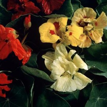 Nasturtiums grow from large, easy-to-handle seeds.