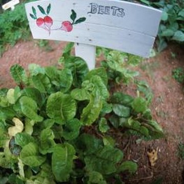 Beets are productive additions to fall gardens.