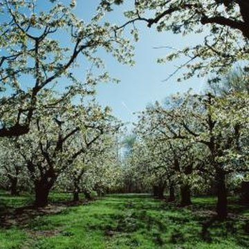 Pear trees that bear a heavy crop one year may not flower the next year.