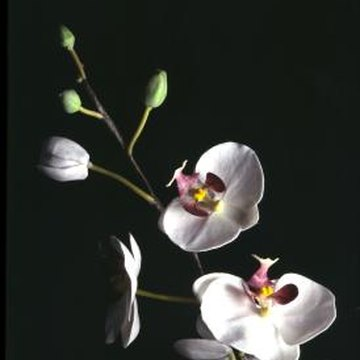 Japanese orchids thrive with proper care.