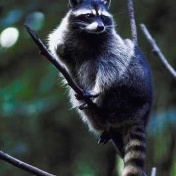 Fruit trees attract raccoons.