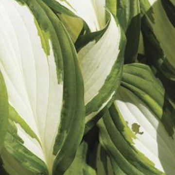 Variegated-leaf hostas provide interesting contrast in deeply shaded areas.