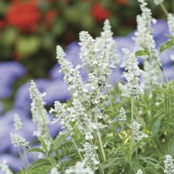 """Snow Nymph"" sage blooms in white even during the hottest summers."