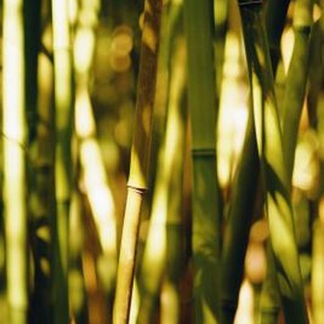 Bamboo is propagated by cutting rhizomes.