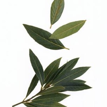 Bay leaves are used whole in cooking and removed from the dish before serving.