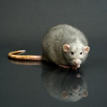 Rats and mice pose health risks to you and your family.