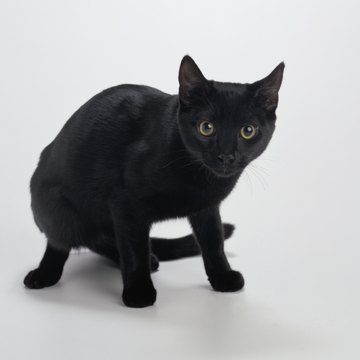 Difference Between Bombay Cat And American Shorthair Black Cat