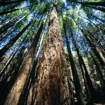 Giant sequoia trees are larger than redwoods in volume; however giant sequoias do not stand taller.