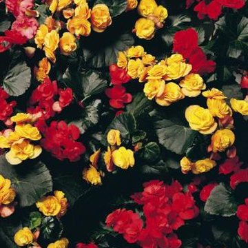 Similar-colored companion plants work well with begonias.