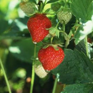 Strawberries can be watered from overhead as long as foliage isn't wet long.