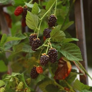 Blackberries fruit best when planted in good soil.