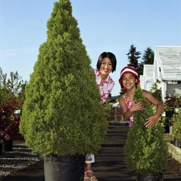 Evergreens are an easy plant to manage once they are potted and in their desired resting spot.