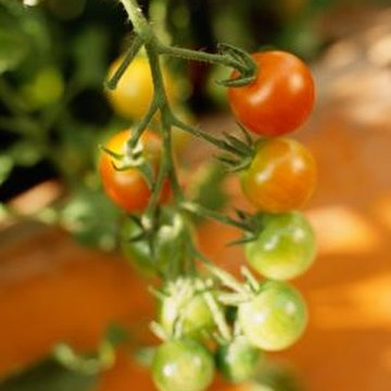 Tiny cherry tomato plants do not need as much room as standard tomatoes.