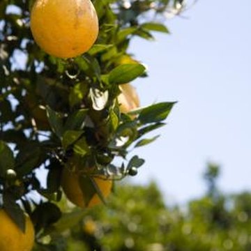 All parts of an orange tree can be damaged in a freeze, even the fruit.