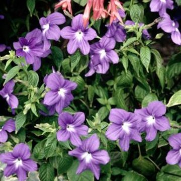 Pruning periwinkles extends the blooming period and keeps them tidy and manageable.