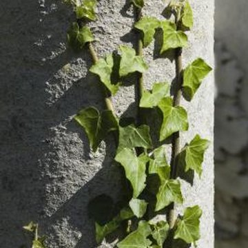 Ivy can cover a shady stone wall.