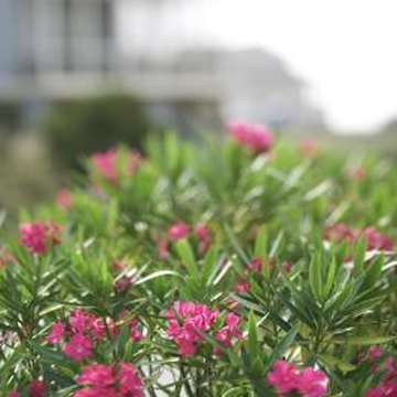 Oleander blooms year-round in frost-free climates.