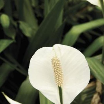 Peace lily makes an excellent houseplant when well-rooted and cared for properly.