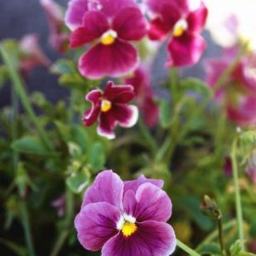 Pansies have flat flowers and thin stems and leaves.