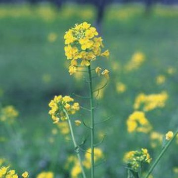 Cut off flower stalks to keep your mustard producing tasty leaves longer.