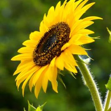 Low-maintenance sunflowers germinate readily from saved seeds.