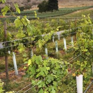 Grape trellises must be placed in direct sunlight.