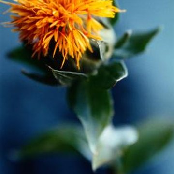 Safflower flowers are prized for their brilliant colors.