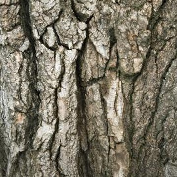 A tree loses its bark as it grows and new tissue develops to replace the old.