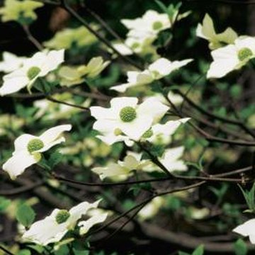Dogwood trees are prized for their showy spring blooms.