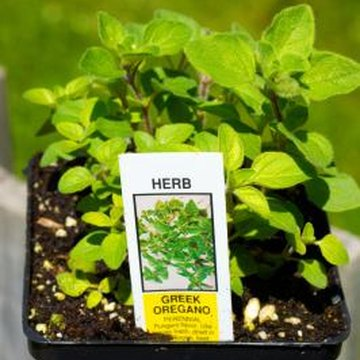Oregano can be used fresh or in dried form to add flavor to soups and sauces.