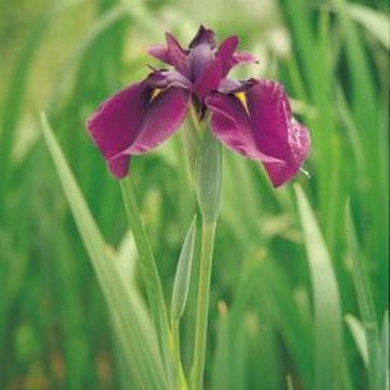 Certain iris species grow well from seed.