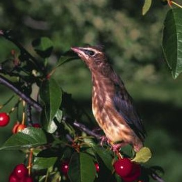 Black cherry attracts birds with its fruits.