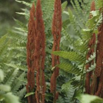 Cinnamon fern helps stabilize the soil in shady areas.