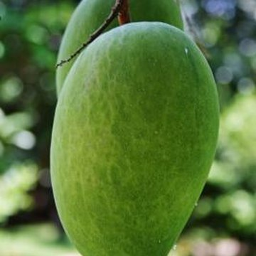 Fungicide is a prevention for fungus growth on mango trees.