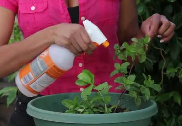 How to Harvest and Preserve Your Mint Crop