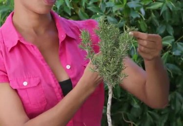 How to Prune a Rosemary Bush