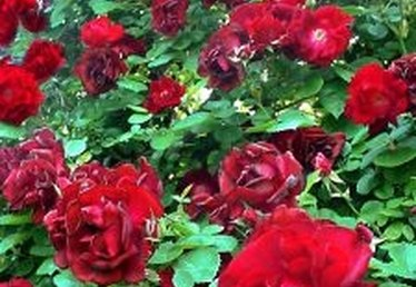How to Maintain & Care for a Rose Bush