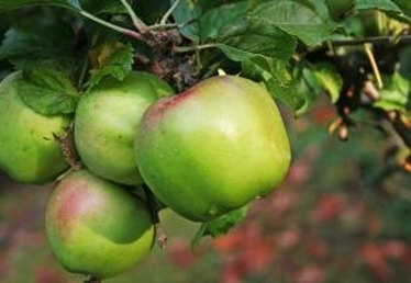 How to Grow Dwarf Apple Trees