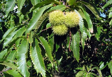 How to Harvest, Store and Prepare Sweet Chestnuts